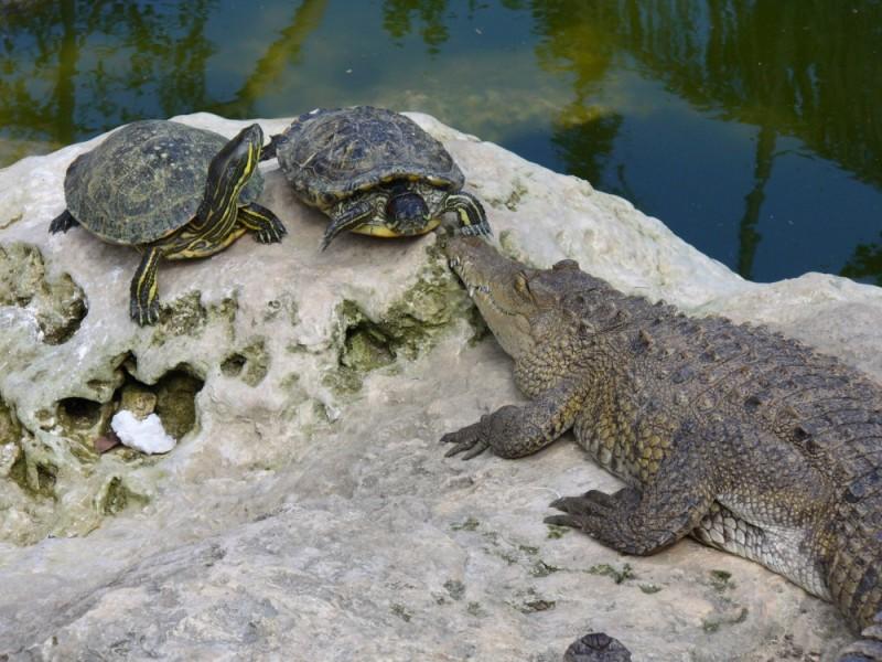 cocodrilo y tortuga