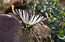 Butterfly (iphiclides podalirius)