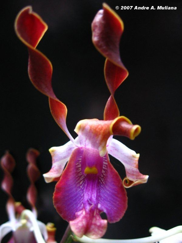 primary hybrid orchid