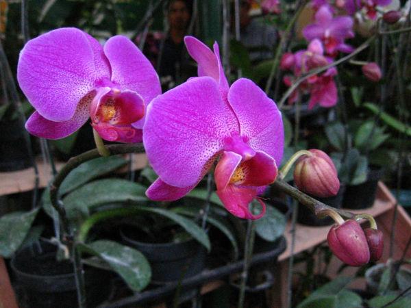 big orchid