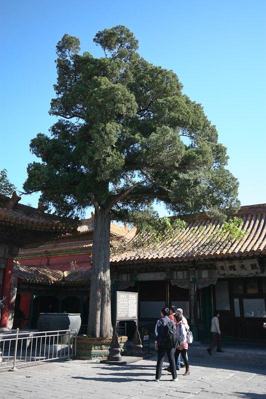 a hundred-year tree