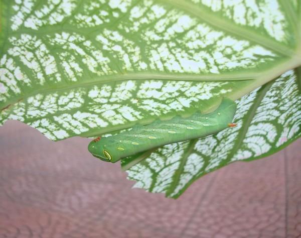 Caterpillar under leaf eating it