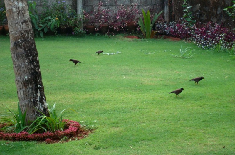 Birds in a lawn