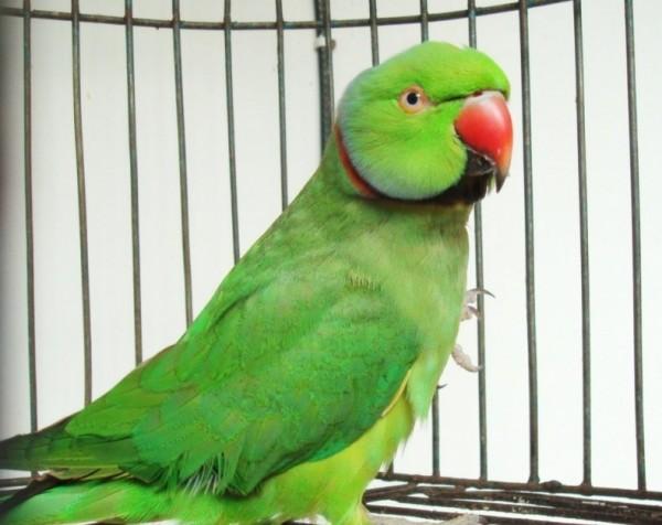 Our pet parrot