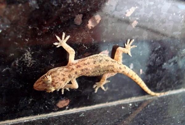 Sleepy lizard on a wall