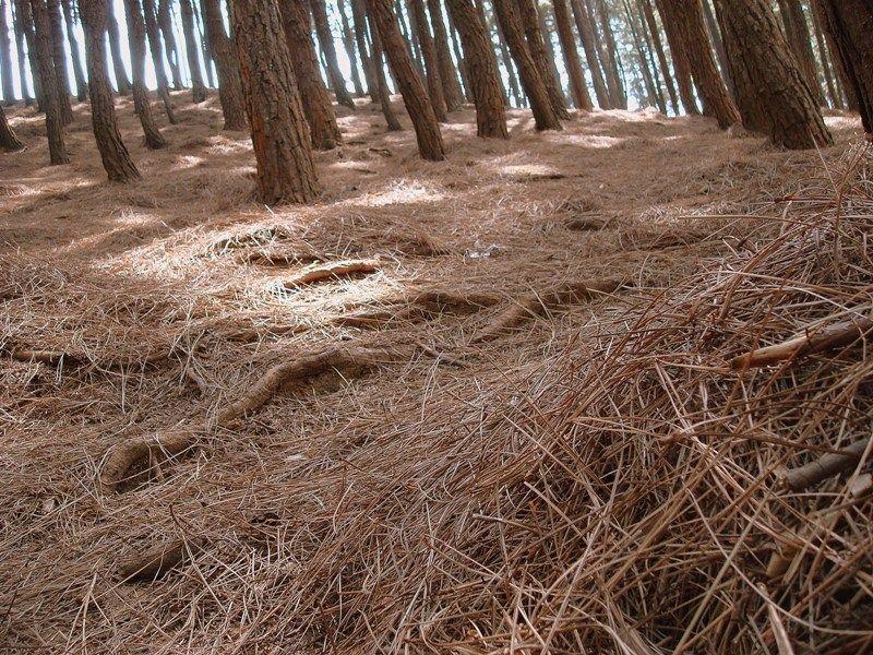 Fallen Pine Leaves
