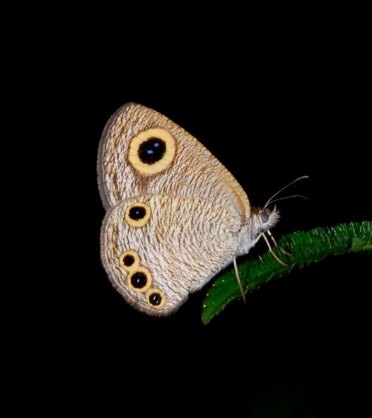 Singapore common four ring butterfly Ypthima