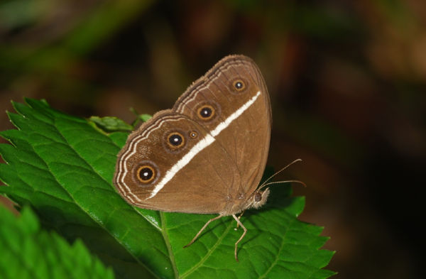 Singapore brown butterfly Orsotriaena