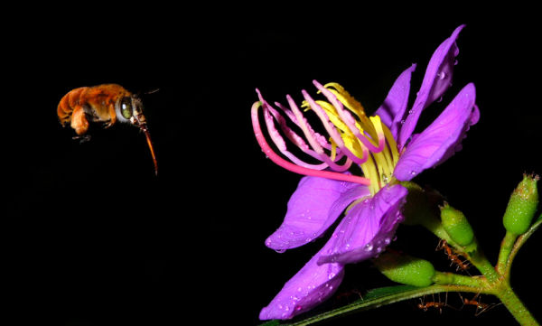 Bee to singapore rhododendron