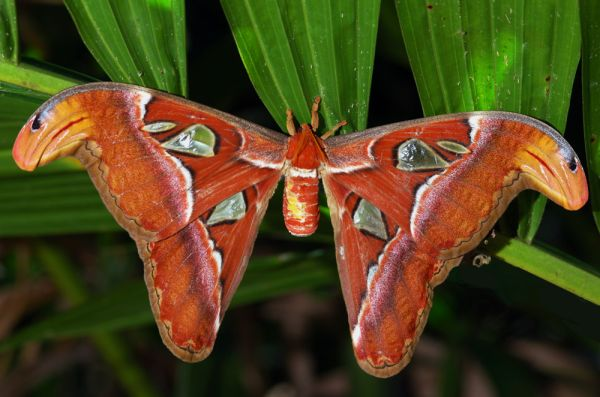Atlas Moth, Ubin, Singapore
