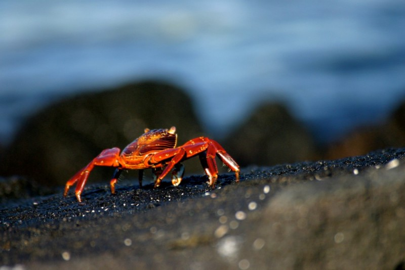 A Sally Light Foot crab in the Galapagos