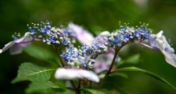 Backyard Hydrangea