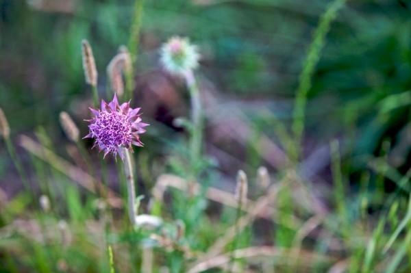 Barbed Purple