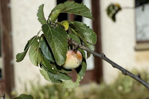 Prune Pizançon Drome 26