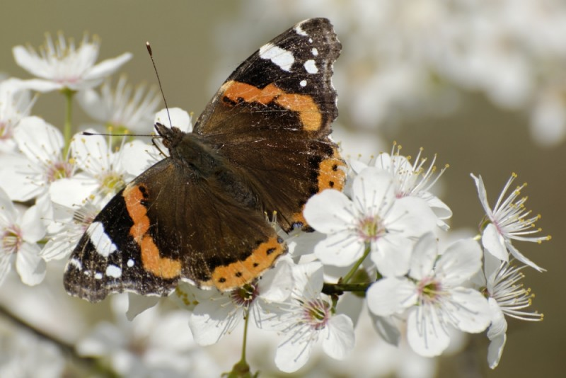 papillon fleur printemps PIZANCON DROME