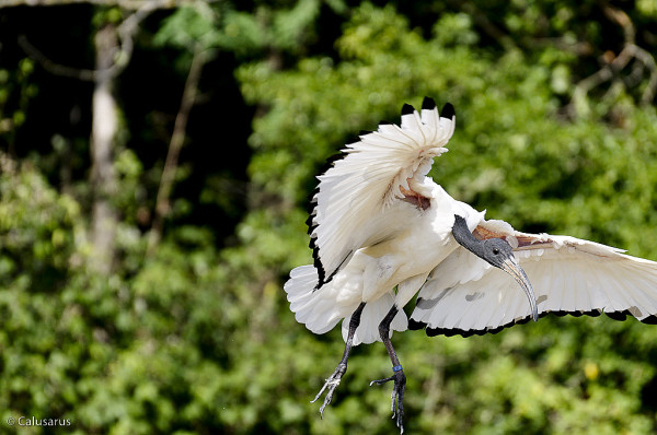 Upie oiseau drome 26
