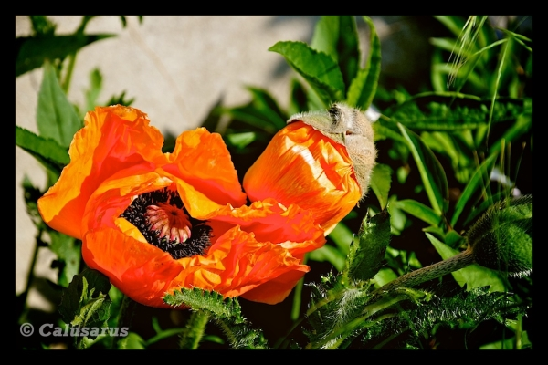 Fleur PIZANCON Drome 26
