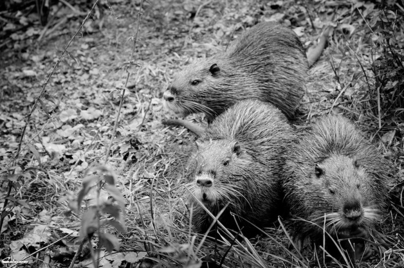 Animal Montelier N&B Drome 26