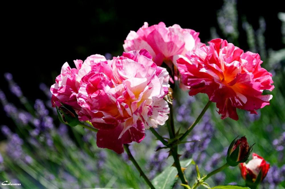 Drome 26 fleur soyans