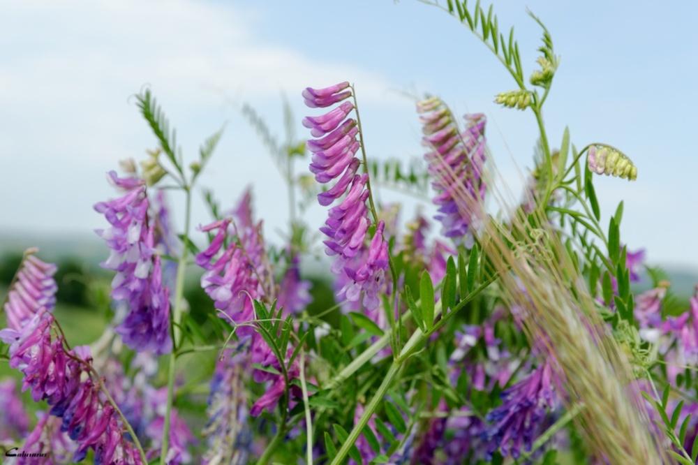 Nature fleur Chantemerle-les-bles Drome 26