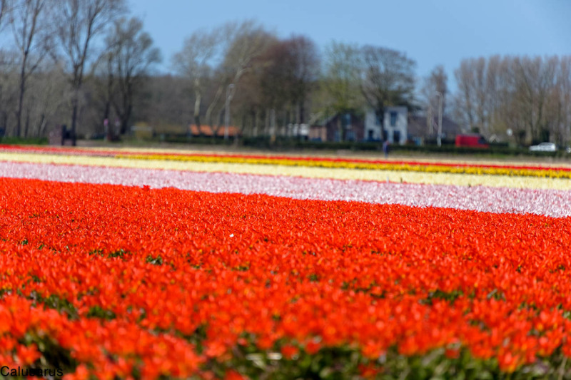 Paysage fleurs amsterdam