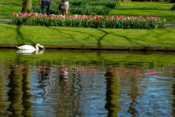 Paysage pays-bas jardin lisse cygne