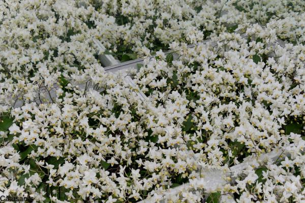 Fleur reflet pays-bas