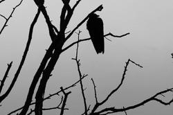 Oiseau Ombre Drome 26 N&B