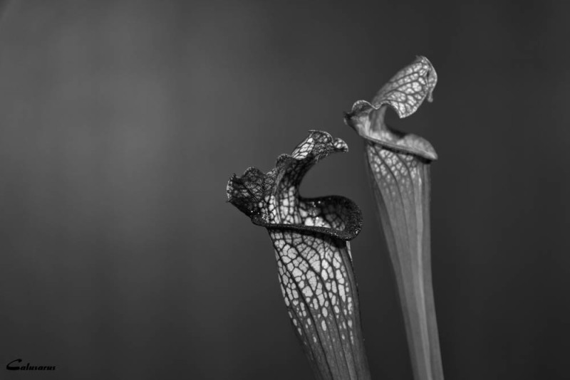 Drome 26 Bourg-de-peage fleur N&B