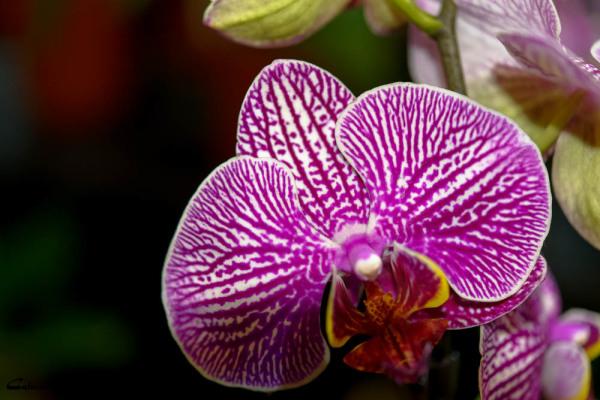 Drome 26 Bourg-de-peage fleur orchidee