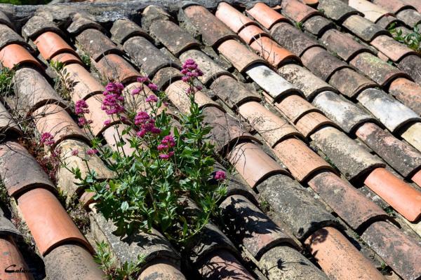 fleur toit Vaucluse