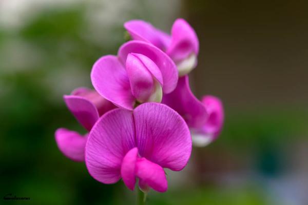 Fleur Drome 26 Pizançon