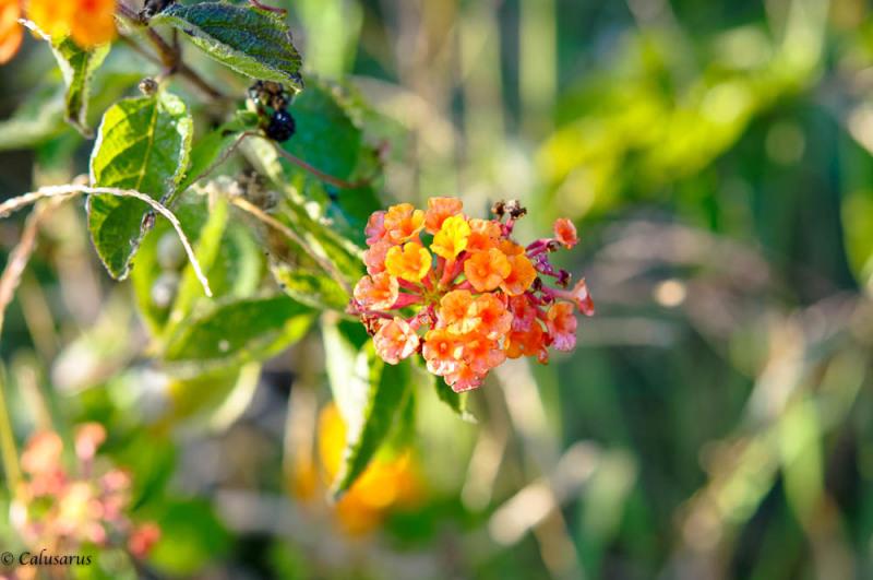 Fleur Drome 26 Pizancon