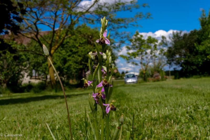 Drome 26 Orchidee Pizancon