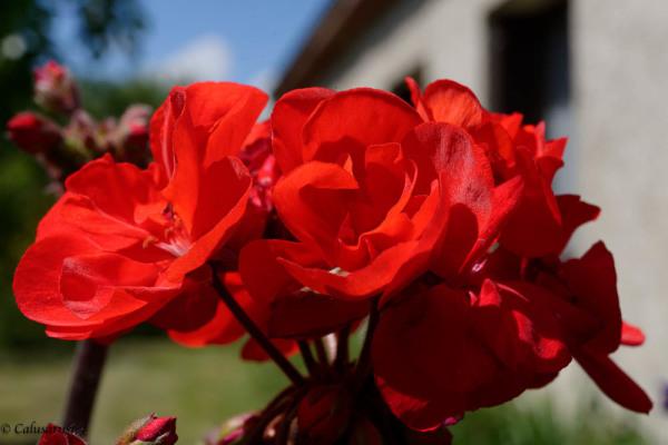 Drome 26 Pizancon Fleur