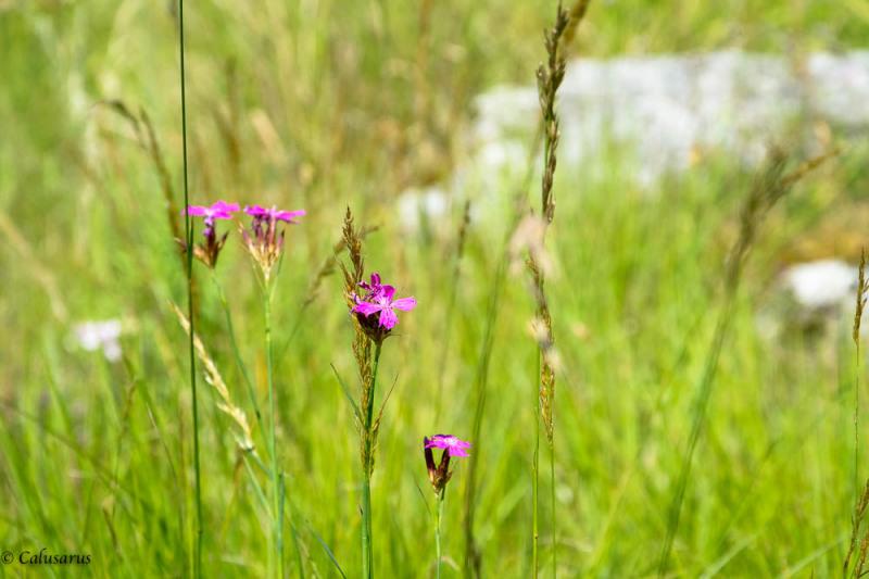 Drome 26 Rochefort-samson fleurs