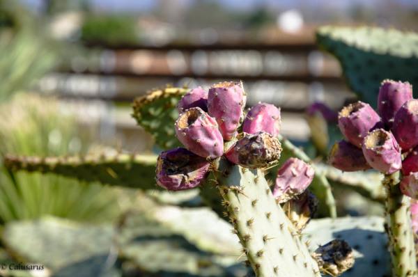 Montelier Drome 26 plante figue