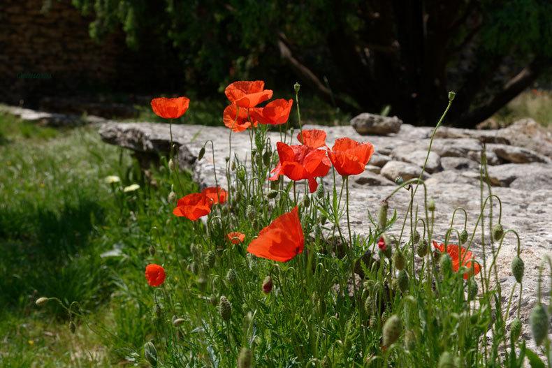 Coquelicot Gordes Fleur