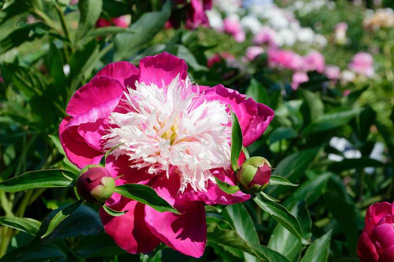 Drome Crest 26 Fleur