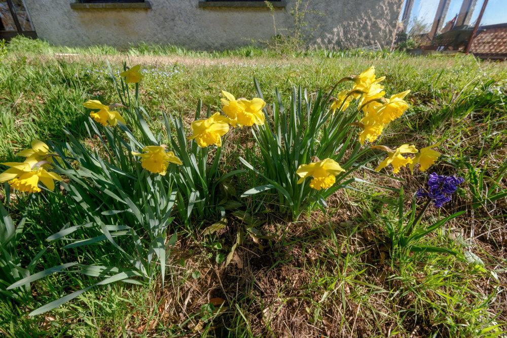 Fleurs Jonquilles Drome 26