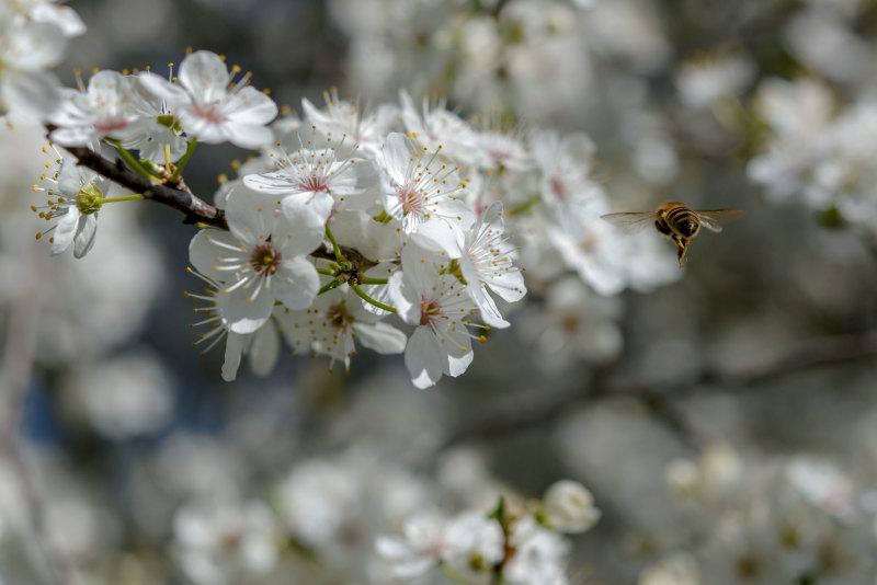 Drome 26 Pizançon Fleur Abeille
