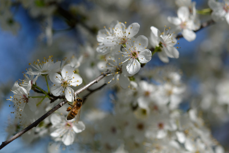 Drome 26 Pizançon Fleur Abeille Macro