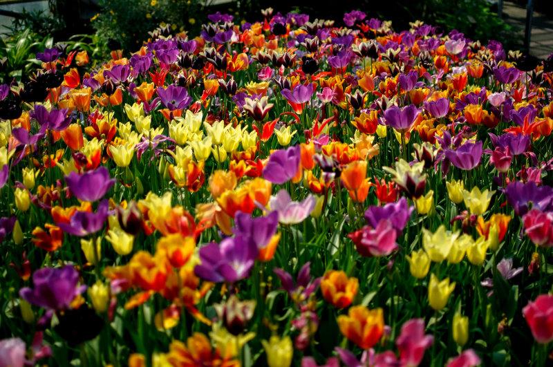 Fleurs Tulipe Nature