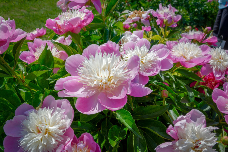 Drome 26 Crest Fleurs Nature Pivoine