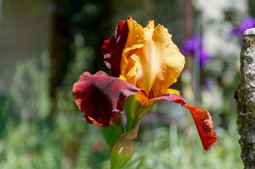 Iris Drome Pizançon Fleur Couleurs