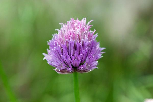 Drome Pizançon 26 Fleur Macro
