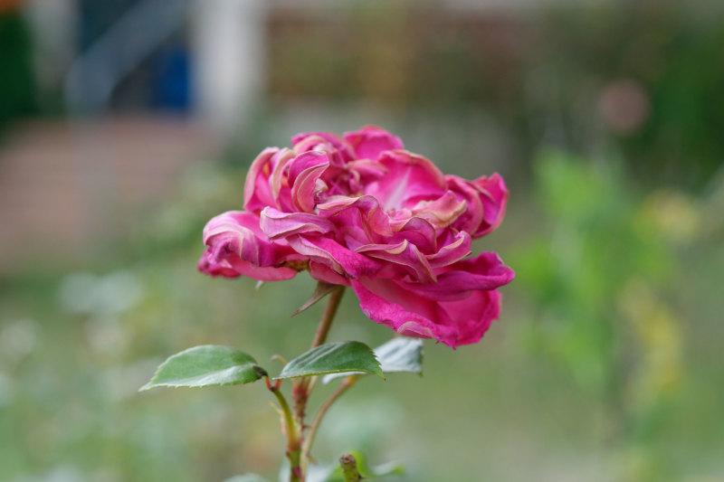 Drome 26 Pizançon Fleur Macro Rose