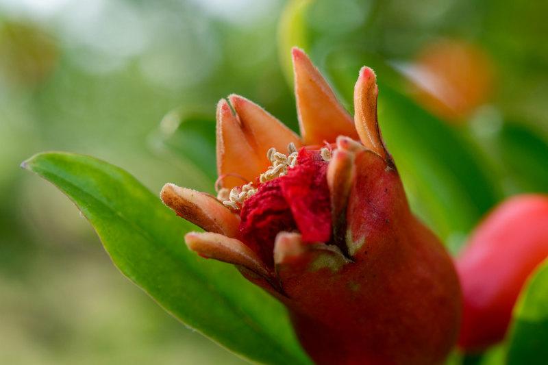 Drome 26 Pizançon Fleur Macro Grenade