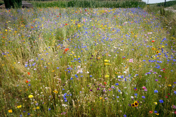 Fleurs champs Nature Belgique