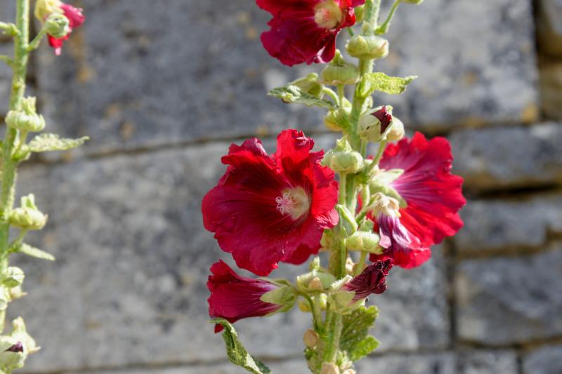 Calvados Fleur Gros plan